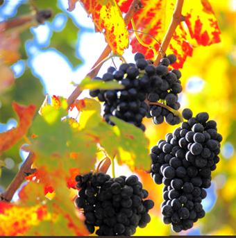 Les virus de la vigne wiki aur a - Parasite de la vigne ...